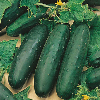Cucumber Marketmore - Mr. Fothergill`s Seeds