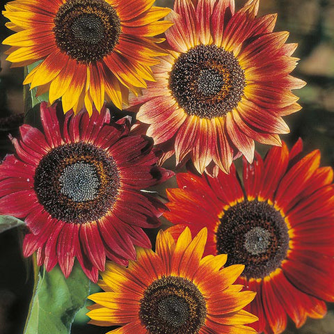 Sunflower Evening Sun - Mr. Fothergill's Seeds