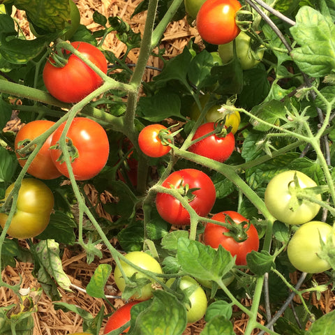Tomato Merville Rocket - Good Earth Farms
