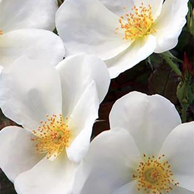 White Knock Out - Weeks Rose