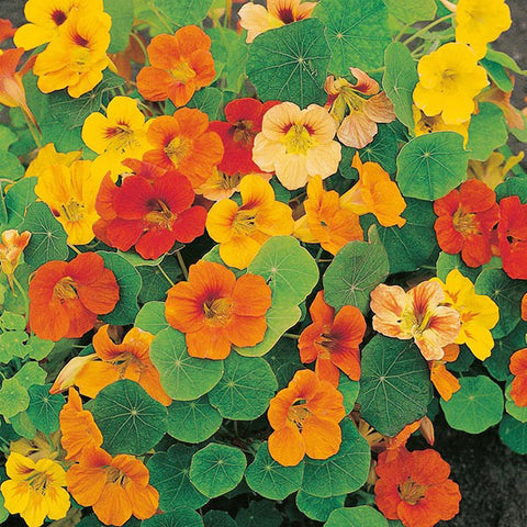 Nasturtium Whirlybird Mixed - Mr. Fothergill's Seeds