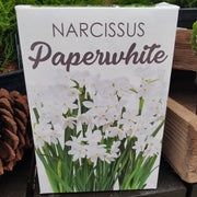 Narcissus Paperwhite Gift Kit