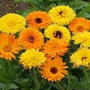 Marigold Pacific Beauty (Calendula) - Cornucopia Seeds