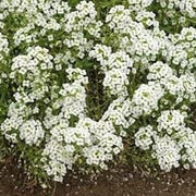 Alyssum Carpet of Snow - Cornucopia Seeds