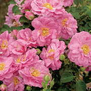 Cape Diamond Pink Climbing - Weeks Rose