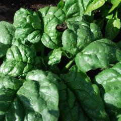 Spinach Bloomsdale Savoy - Good Earth Farms
