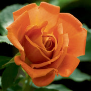 Pumpkin Patch - Weeks Rose