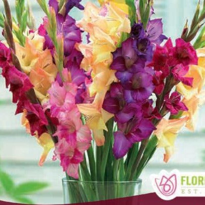 Gladiolus Rainbow Mix pink purple and yellow spring bulbs