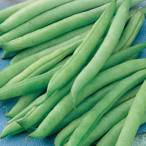 Bean Greencrop Bush - McKenzie Seeds