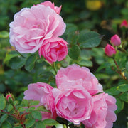 Pink Bonica Shrub Weeks Rose