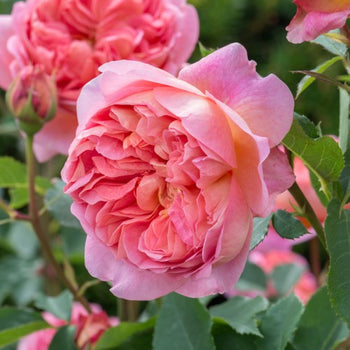 Boscobel - David Austin Rose Coral Pink Shrub