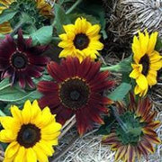 Sunflower Bright Bandolier - Renee's Garden