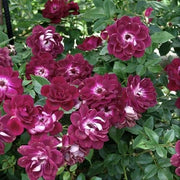 Burgundy Iceberg - Weeks Rose