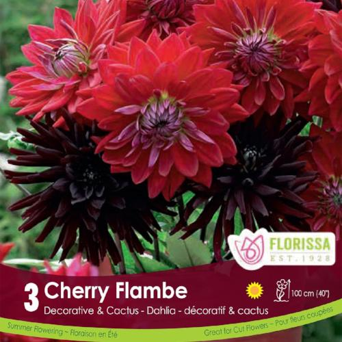 Dahlia Cherry Flambe red spring bulbs