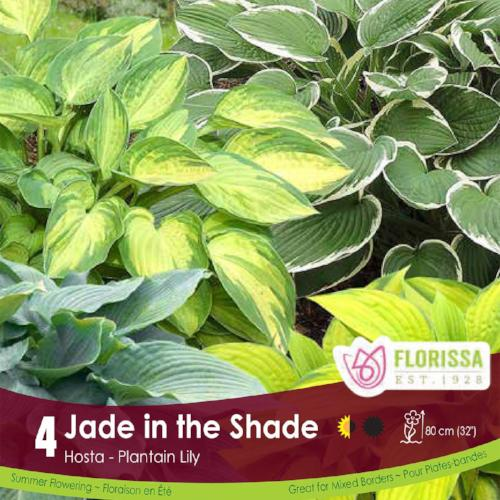Hosta Jade in the Shade