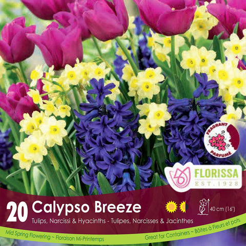 Tulip, Narcissi & Hyacinths Calypso Breeze pink yellow and purple