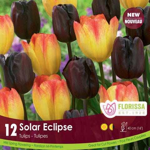 Tulips Solar Eclipse