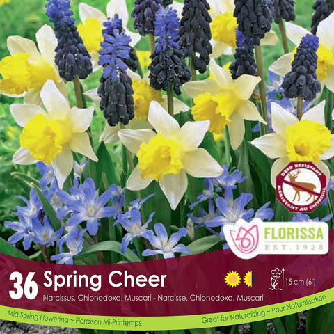 Narcissus, Chionodoxa, & Muscari Spring Cheer Yellow and purple