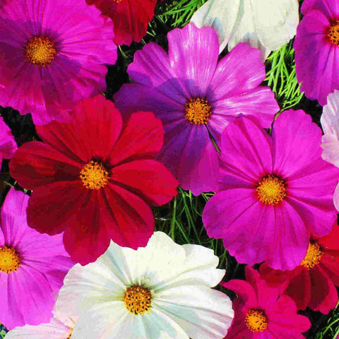 Cosmos Early Sensation - McKenzie Seeds