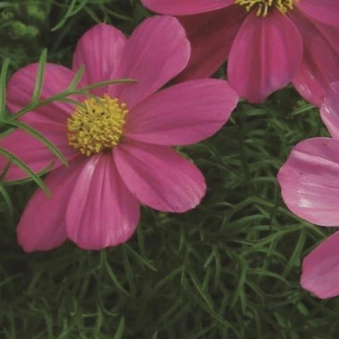 Cosmos Mix - Metchosin Farm