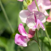Sweet Peas Striped Butterfly Blend - West Coast Seeds
