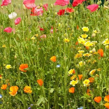 Wildflowers Bee Garden - West Coast Seeds