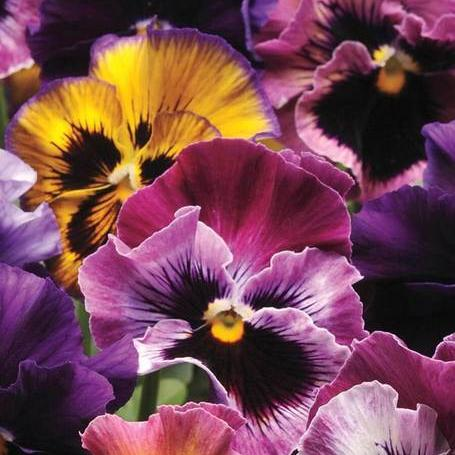 Viola Fizzy Fruit Salad Mix - West Coast Seeds