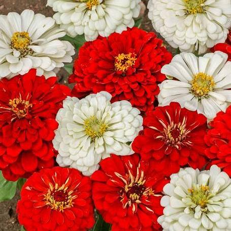 Zinnias Oh Canada! - West Coast Seeds
