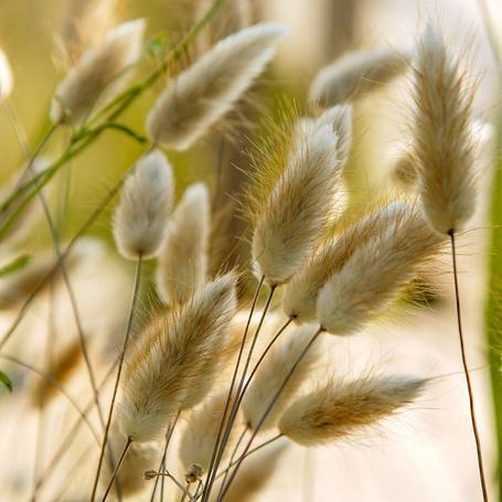 Ornamental Grass Bunny Tails - West Coast Seeds