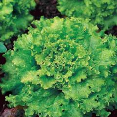 Lettuce Early Great Lakes - McKenzie Seeds