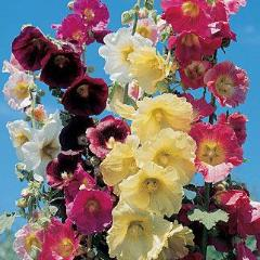 Hollyhock Country Romance Mix - Burpee Seeds