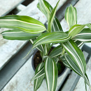 Small Ribbon Plant Variegated