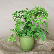 "4"" Fern Maidenhair Tropical Plant"