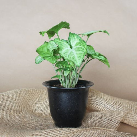 "4"" Nephthytis Butterfly Tropical Plant"