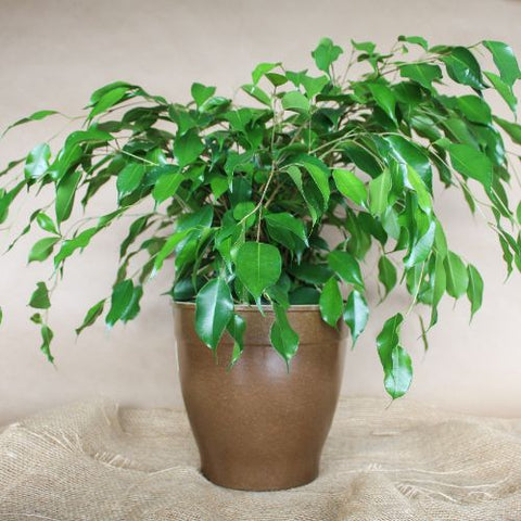 "6"" Ficus Weeping Fig"