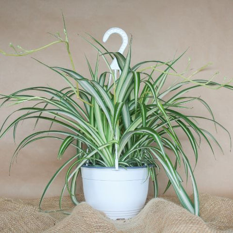 "8"" Spider Variegated Hanging Basket Tropical Plant"