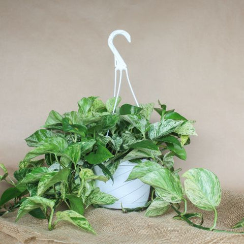 "8"" Pothos Marble Queen Hanging Basket Tropical Plant"