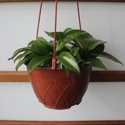 Medium Hoya Wax Plant Hanging Basket