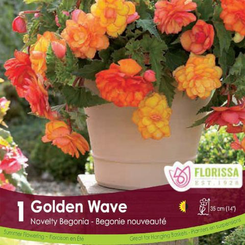 Begonia Sup Nov Golden Wave Orange and Yellow Spring bulb
