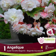 Begonia Sup Nov Angelique White Spring Bulb