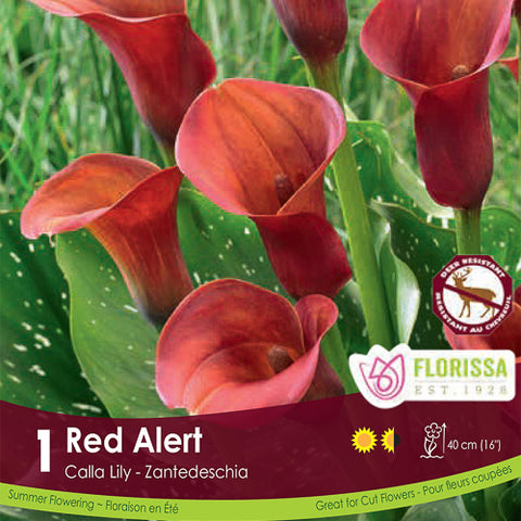 Calla Red Alert Spring Bulb