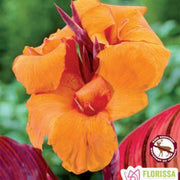 Canna Var Leaf Durban Orange Spring Bulb