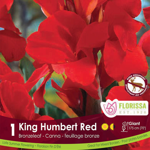 Canna Bronze Red King Humbert Spring Bulb
