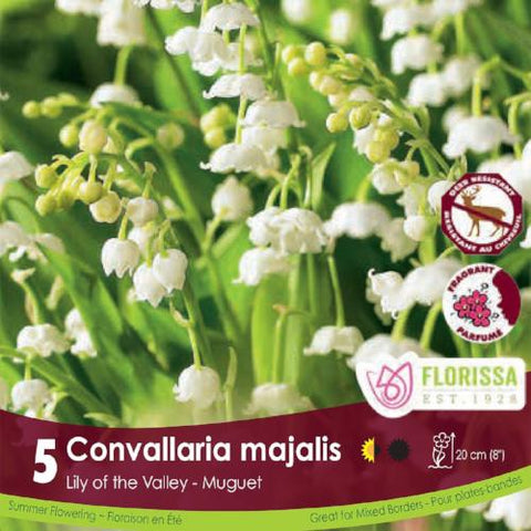 Convallaria Majalis Lily of the Valley White spring bulbs