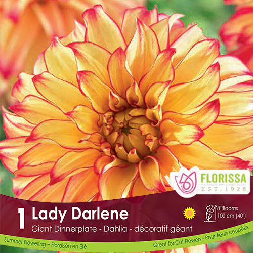 Dahlia Dinnerplate Lady Darlene Yellow and Pink Spring Bulb