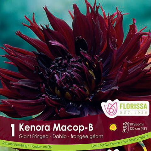 Dahlia Dinnerplate Kenora Macob Purple Spring Bulb