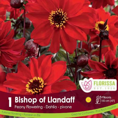 Dahlia Classic Bishop of Llandaff Red Spring Bulb