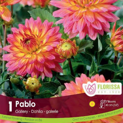 Dahlia Gallery Pablo Pink and yellow spring bulb