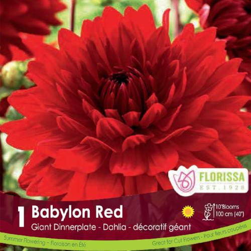 Dahlia Dinnerplate Babylon Red Spring Bulb