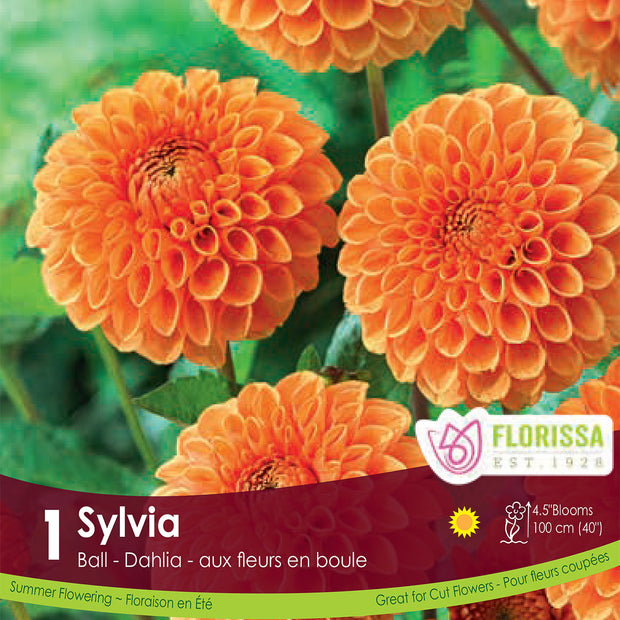 Dahlia Novelty Sylvia Ball Orange Spring Bulb